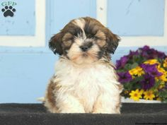 29 Best Dogs Images Puppies For Sale Yorkie Puppies For Sale