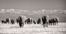 Beautiful Panoramic Fine Art print of a herd of Elephants in Kenya. A variety of fine art papers and canvas are available including framed and mounted options too. A must have print to add elegance to any home, office or lodge.