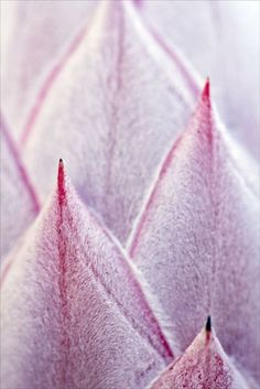 Pink King Protea by Josie Eldred
