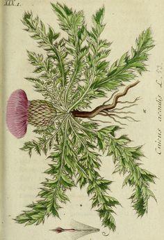 """""""Deutschlands flora in abbildungen nach der natur"""" (1798)"""