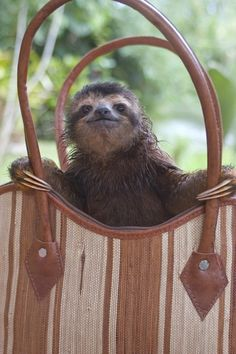 The Sloth Sanctuary in Costa Rica - my love of sloths, and my love of handbags combined in one photo!