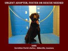 ***SUPER SUPER URGENT!!!*** - PLEASE SAVE JADDA!! - EU DATE: 3/19/2015 -- Jadda Breed:Labrador Retriever Age: Adult Gender: Female Size: Large Location: Kaplan, LA  Read more at http://www.dogsindanger.com/dog/1426371882745#0mdqLAVBAOUpsb22.99 - If you have any questions please contact us at animalaidvermilion@gmail.com or (337) 366-0212 or visit our website animalaidvermilionarea.com for more information Read more at http://www.dogsindanger.com/dog/1426371882745#0mdqLAVBAOUpsb22.99