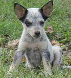Blue heeler puppie