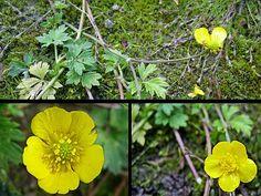 Kruipende Boterbloem - Ranunculus repens. - Foto gemaakt door pinterester Adri v.d.S - Bord Wilde Gele bloemen - Yellow wildflowers