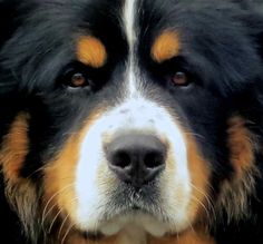 """When we walked our Berner, Tucker, kids would regularly comment """"Look! They're walking a bear!"""""""