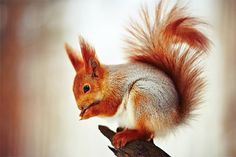 squirrel by Stanislav Kalashnikov