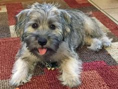 What are some health risks for a schnauzer/shih tzu mix?