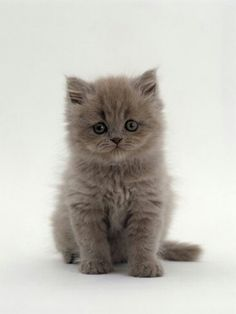I want a grey Persian really bad haha