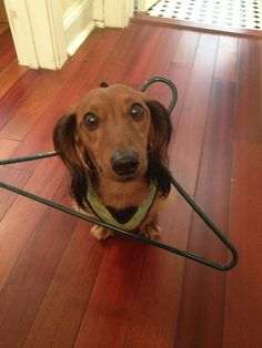 My doxie did this quite often. Cute Puppies, Cute Dogs, Dogs And Puppies, Scottish Terrier, Funny Animals, Cute Animals, Animal Funnies, Dachshund Love, Daschund