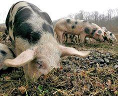 Einst sehr begehrt: das Bunte Bentheimer Schwein (Rechte: dpa)