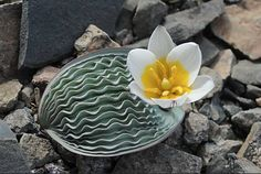 Tulipa regelii - An extremely rare endemic of Kazakhstan, limited to arid rocky spots in the Tien-Shan foothills.
