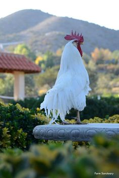 Rooster on Morning Watch