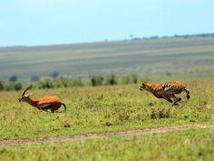 Guepardo intentando dar caza a la presa más rápida del planeta, la gacela Thompson. Imagen de... [Foto del día - mayo 2016]