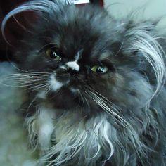cutest Persian kitten I've seen :)