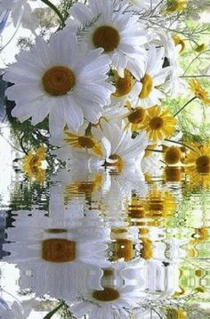 Happy Flowers, My Flower, White Flowers, Flower Power, Beautiful Flowers, Daisy Love, Daisy Girl, Sunflowers And Daisies, Beautiful Gif