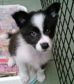 Border Collie Puppy giving you the eyes