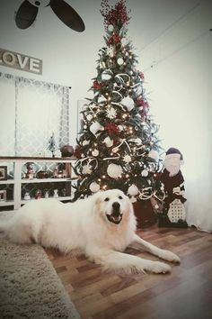 A Pyrenean Christmas | Great Pyrenees Holiday Photos 2017