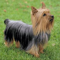 Silky Terrier - Although it's a toy breed, this little dog has the alert, inquisitive nature typical of terrier breeds. Another creation of the inventive Australians, the Silky Terrier was developed from a cross between Australian and the Yorkshire Terriers.
