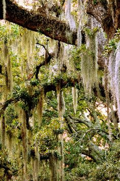 Spanish Moss Grows On Southern Live Oak Mainly In Humid Southern States and In Humid Countries Like Argentina.