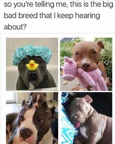 This is breed every flipping bloody hell HATERS needs to be Stop judging and HATING THIS BREED so much I am pitbull lover always I will NEVER be pitbull hater never Funny Animal Jokes, Cute Funny Animals, Animal Memes, Funny Dogs, Cute Puppies, Cute Dogs, Cute Little Animals, Cute Animal Pictures, Dog Memes