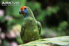 Amazona rhodocorytha - Pesquisa Google