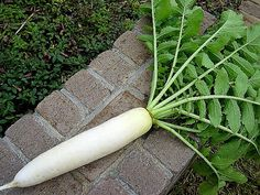 Daikon Radish, Japanese Heirloom 200 seeds non GMO, mild, super nutritious, easy to grow, makes great sprouts, kim chi