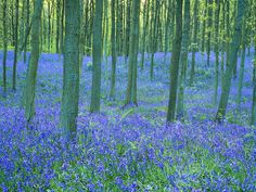 Bluebells in the Forest The Forest I went to in Belgium looked just like this.  It was truly the first sign of spring.