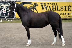 Welsh Mountain Pony (section A) - mare Twisthoeve's Isa