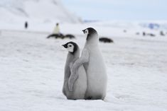Cute Funny Animals, Cute Baby Animals, Penguin Love, Penguin Craft, Cute Giraffe, Baby Penguins, Best Friends For Life, Animal Memes, Kittens Cutest