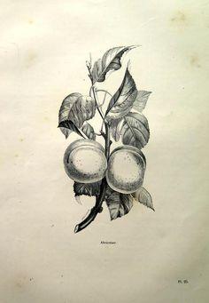 Fruit Sketch, Peach Fruit, Fruit Print, Gcse Art, Flower Plates, Prunus, Antique Prints, Flower Prints, Art Sketches