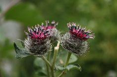 Kouzelné bylinky - Lopuch plstnatý