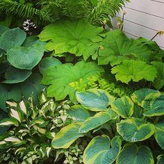 #hosta #parasollblad #styragården #trädgårdsmästare #väckelsång #plantskola #styragårdensträdgård