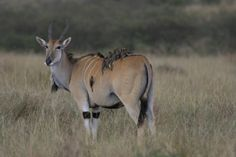 Eland with yellow billed oxpeckers, Masai Mara by Richard Ainsworth