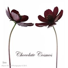 Chocolate Cosmos by Alyson Fennell on 500px