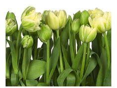 fototapeta tulipany - Szukaj w Google