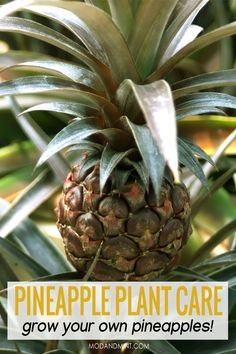 Have you ever thrown out a pineapple crown? Next time, keep it. You can grow a new plant from it! Find out how to care and propagate your plant to keep it healthy and thriving. Pineapple Plant Care, Pineapple Planting, Garden Plants Vegetable, Cactus Care, Inside Plants, Mother Plant, Replant, Garden Care, Plant Needs