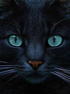 Stunning black cat photo!! And the blue eyes....oh my goodness!!!!! #halloween cats