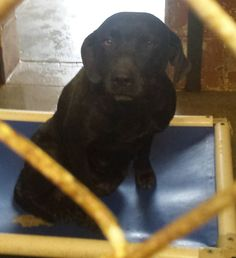 01/17/16-Meet Maci 15-579, an adoptable Labrador Retriever looking for a forever home. If you're looking for a new pet to adopt or want information on how to get involved with adoptable pets, Petfinder.com is a great resource.