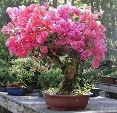 Bougainvillea bonsai ,九重葛盆景 @ jp765423的部落格 :: 痞客邦 PIXNET ::