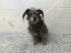 Sean is 1 of 3 small breed dogs surrendered today at City of San Bernardino Animal Control-Shelter The fine citizens of this city sicken me. Truly! SEAN - #A418967 Surrendered/Available 12/5 My name is Sean and I am a neutered male, black and gray Terrier mix. Shelter staff think I am about 4 years old. I have been at the shelter since Dec 05, 2014. https://www.facebook.com/photo.php?fbid=10204075330141111&set=pb.1160364024.-2207520000.1417905855.&type=3&theater