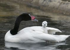 Mama Black-Necked Swan and baby....