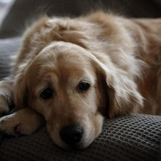 Great Dog Breeds For Families - 3 Popular Dogs For Family Households