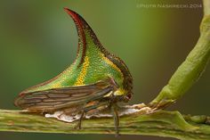Treehoppers are excellent parents –this female Thorn treehopper (Umbonia sp.) is shielding her eggs with her body; if necessary she can also use her powerful legs to kick potential predators.