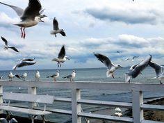 Seagulls of Sopot, Poland
