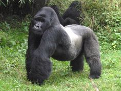bloodycoltan [licensed for non-commercial use only] / Photo Collage of Silverback Gorillas