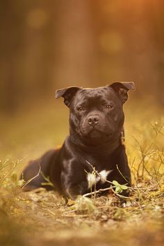Spredningen av Corona er mer under kontroll. Men vi skal fortsatt være forsiktige. Jeg kommer derfor til å ha mest fokus på fotografering utendørs i tiden fremover. Og med den våren vi har nå så er ikke det så ille akkurat. Vi har vært bortskjemt med godt vær i lang tid og forhåpentligvis fortsetter  #hund #hundefotograf #staffordshirebullterrier Staffordshire Bull Terrier, Pitbulls, Dogs, Animals, Animales, Pit Bulls, Animaux, Pet Dogs, Pitbull
