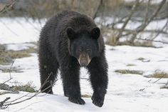 Bear Encounters | What to Do When You Encounter a Bear in the Wild And The Misconception of Bear Hibernation: The Difference Between Hibernation and Torpor by Survival Life at http://survivallife.com/2016/01/25/bear-encounters/