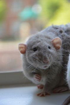 a precious puff Rattie!