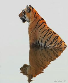 A tiger's stripes are as unique as fingerprints. They can be used to identify each individual wild tiger. Mundo Animal, My Animal, Beautiful Cats, Animals Beautiful, Beautiful Pictures, Big Cats, Cats And Kittens, Siamese Cats, Animals And Pets