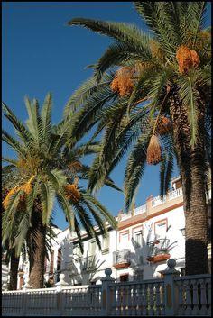 Date Palms, Cortes de la Frontera, Sierra de Grazalema, Andalucia, Spain